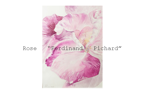 "Rose ""Ferdiand Pichard"""